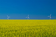 Wind turbines and canola crop