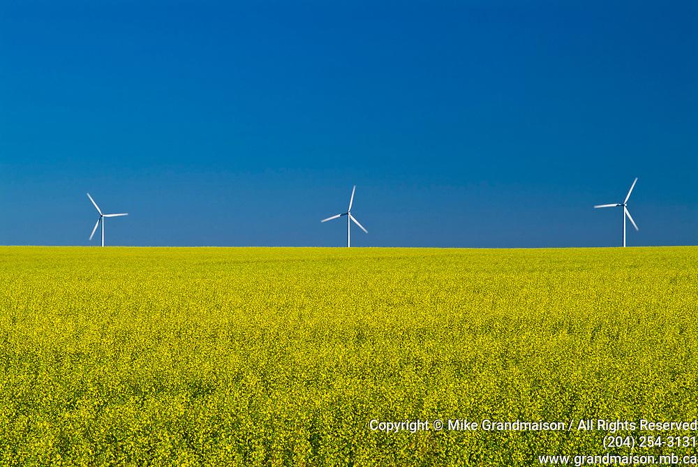 Wind turbines and canola crop