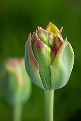 Tulipa 'Boa Vista'