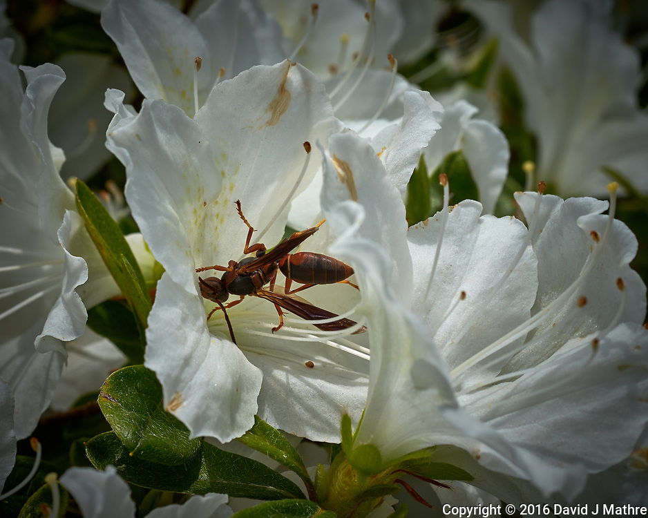 Wasp in a white flower. Backyard spring nature in New Jersey. Image taken with a Fuji X-T1 camera and 60 mm f/2.4 macro lens (ISO 200, 60 mm, f/11, 1/320 sec).