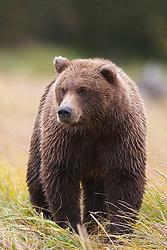 North American brown bear /  coastal grizzly bear (Ursus arctos horribilis) sow walks in a grassy field, Lake Clark National Park, Alaska, United States of America