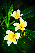 Plumeria blooms in the Florida Keys.