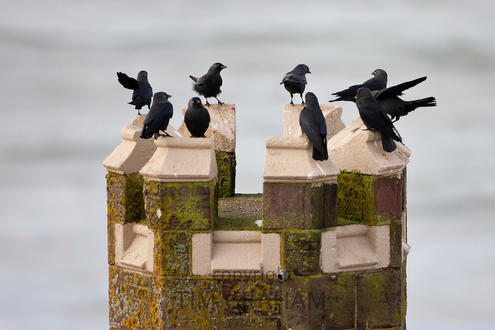 Flock of jackdaws, Corvus monedula, on turret overlooking the sea at Woolacombe, North Devon, UK