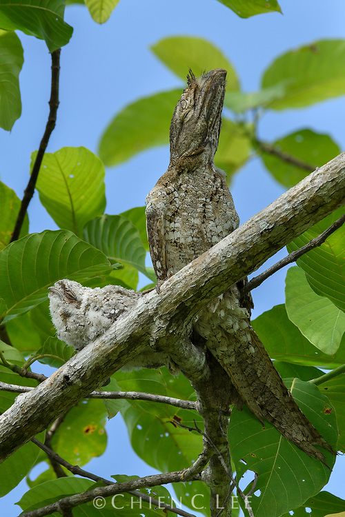 Almost indistinguishable from the branch on which it rests, a Papuan Frogmouth (Podargus papuensis) perches motionless next to its chick. Like other frogmouths, these birds scarcely build any nest at all and rely on camouflage to escape the detection of predators.