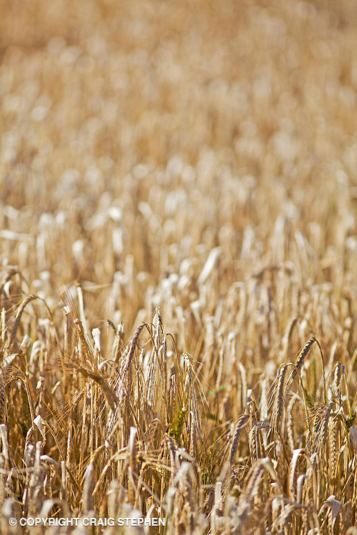 Field of wheat, shallow depth of field