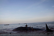 kids playing with the dead sperm whale on Lamalera Beach, East Nusa Tengggara, Indonesia.Residents in the lamalera village, hunting sperm whales to provide meals for the entire village and part of the lembata island where the village is located..