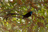 Stephanie's Astrapia Bird of Paradise (Astrapia stephaniae) male.