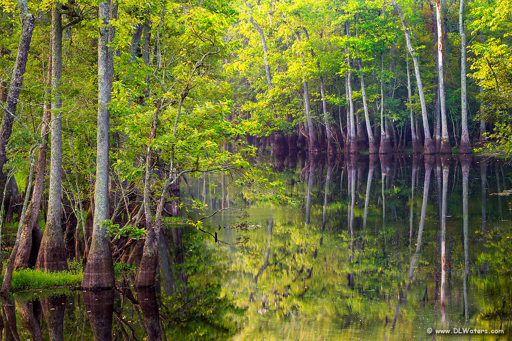 Bald cypress trees growing around a slough in North Carolina.