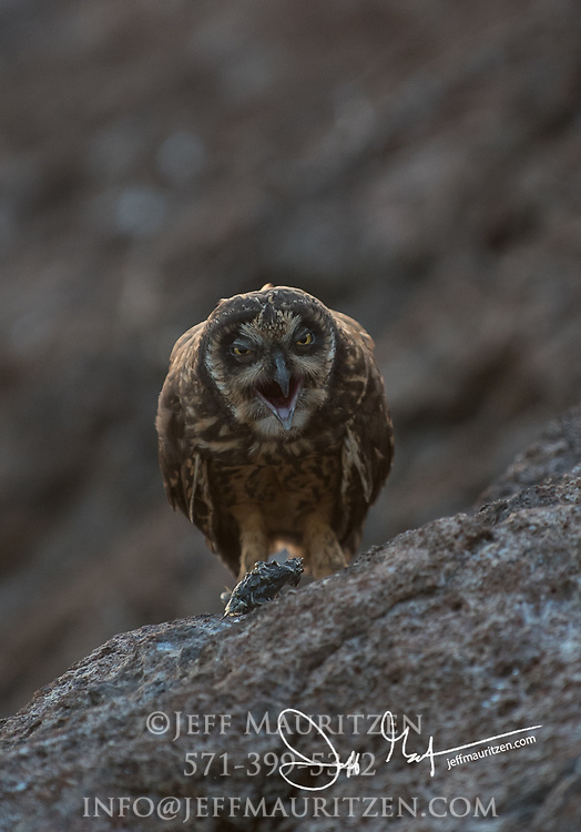 A Galapagos short-eared owl regurgitates an owl pellet on Genovesa island, part of the Galapagos archipelago of Ecuador.