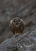 A Galapagos short-eared owl regurgitates an owl pellet on Genovesa island, part of the Galapagos archipelago of Ecuador.