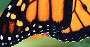 Macro image of amazing Monarch wing design and detail.  Middletown, Delaware