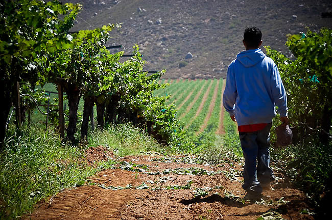 """America, Latin America, Mexico, Baja California, Ensenada. A peasant working in the vineyard of Paralelo winery.  In the last ten years the culture of wine has had a boom in Mexico.  In an area known as """"The Route of the Wine"""" several wineries produce part of the finest wines of Mexico, this wines have had a good reception in the international scene of the wine.  - 19.06.2005, DIGITAL PHOTO, 48 MB, copyright: AlexEspinosa/Gruppe28."""