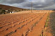 Aloe vera plants commercial cultivation, Tiscamanita, Fuerteventura, Canary Islands, Spain