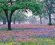 Texas Paintbrush and Bluebonnets beneath oak trees on foggy morning, Marble Falls, Texas