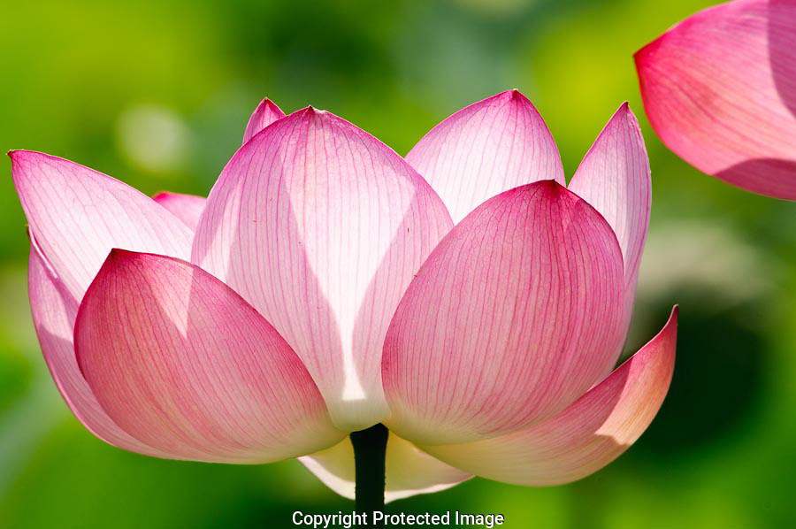 The sun highlighted the pink of the lotus flower, creating an interesting design.