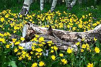 Spring in the aspens.