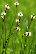 Ribwort plantain at the London Wetland Centre, Barnes, London