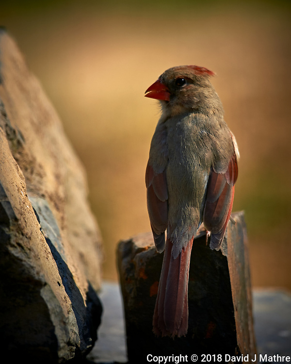 Female Northern Cardinal. Image taken with a Nikon D4 camera and 600 mm f/4 VR lens (ISO 140, 600 mm, f/4, 1/800 sec)