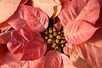 Poinsettia: Peppermint Ruffles