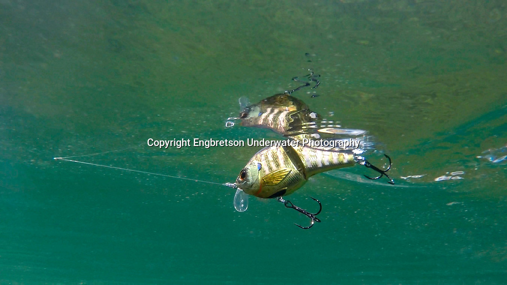 Live target Sunfish<br /> <br /> Engbretson Underwater Photography
