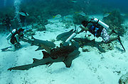 Nurse Shark (Ginglymostoma cirratum) & Black Grouper (Mycteroperca bonaci)<br /> Hol Chan Marine Reserve<br /> near Ambergris Caye and Caye Caulker<br /> Belize Barrier Reef, second largest barrier reef in the world<br /> Belize<br /> Central America
