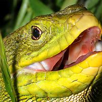 Alberto Carrera, Lizard, Ocellated lizard, Eyed Lizard, Timon lepidus, Guadarrama National Park, Spain, Europe