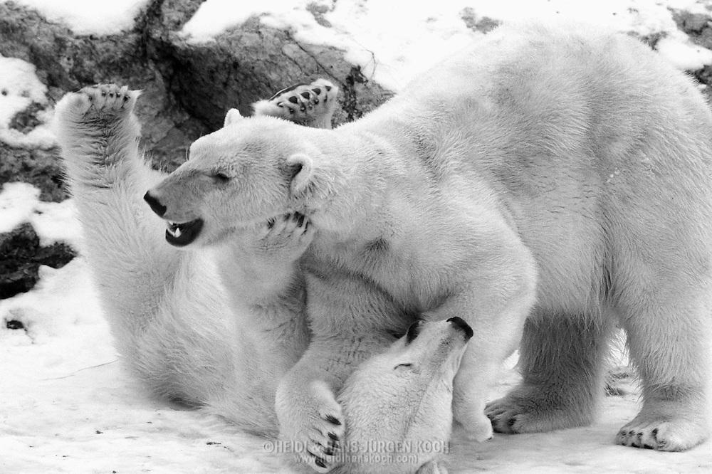 Schweden, SWE, Kolmarden, 2000: Zwei junge Eisbaeren (Ursus maritimus) beim spielerischen Kaempfen, Kolmardens Djurpark.   Sweden, SWE, Kolmarden, 2000: Polar bear, Ursus maritimus, play fighting of two sub-adult polar bears, Kolmardens Djurpark.  