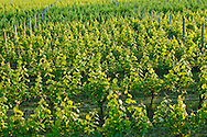 Shinn Estate Vineyard, Mattituck, Oregon Road, Long Island, New York North Fork,