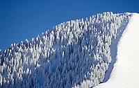 Snow covered pine trees on Maple Mountain, Utah