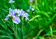 Beautiful iris Latin name Iridaceae Louisianna hybrid in a spring garden