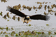 A bald eagle (Haliaeetus leucocephalus) flies with a midshipman fish that it caught in an oyster bed in Hood Canal near Seabeck, Washington. Hundreds of bald eagles, herons, gulls, and other birds congregate in the area early each summer to feast on the migrating fish, which get trapped in small pools at low tide.