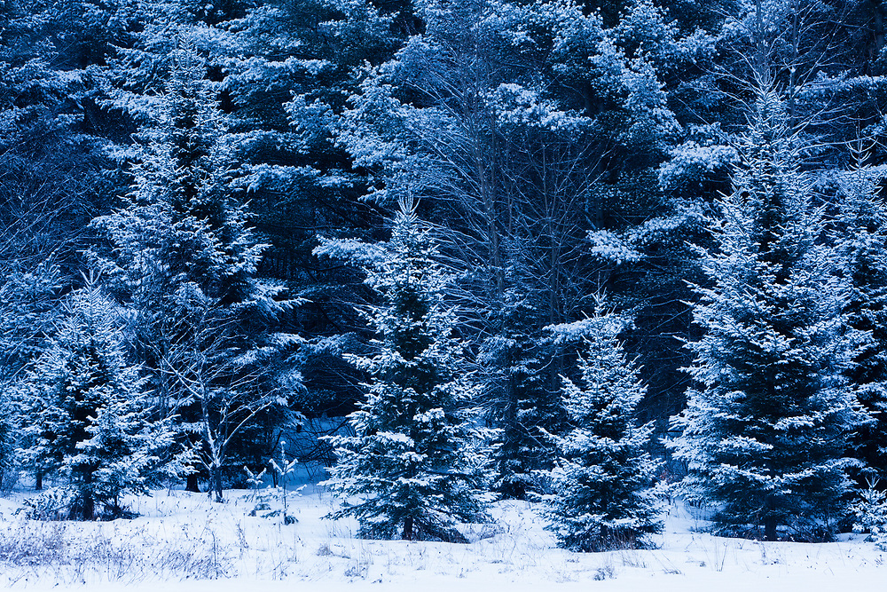 fresh snow covers evergreen trees in Middlesex, Vermont