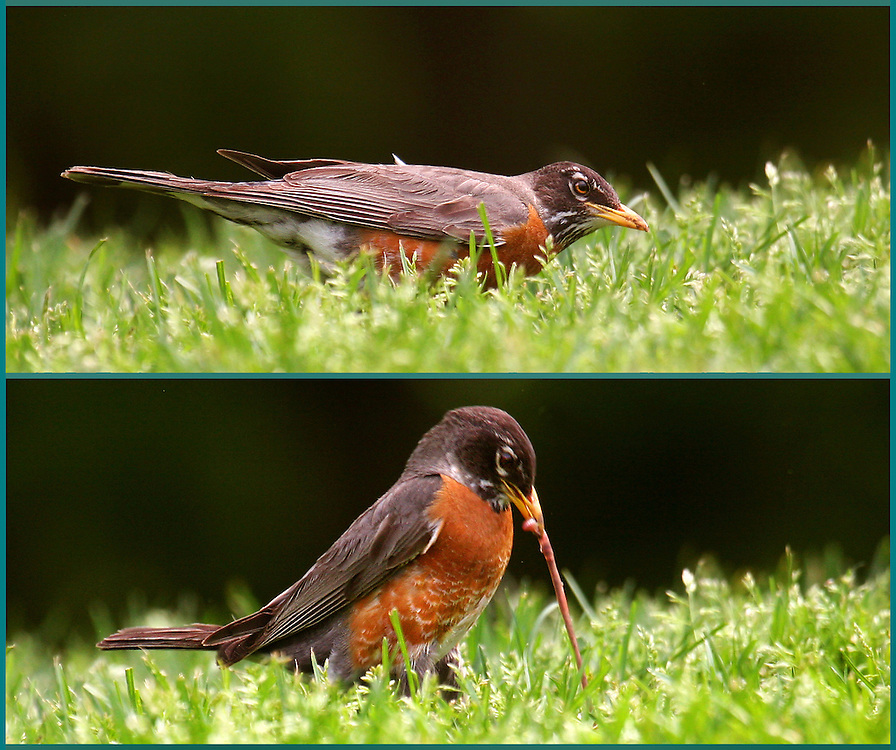 Visual proof that robins hunt with their hearing. This one listens and then a moment later catches a worm.