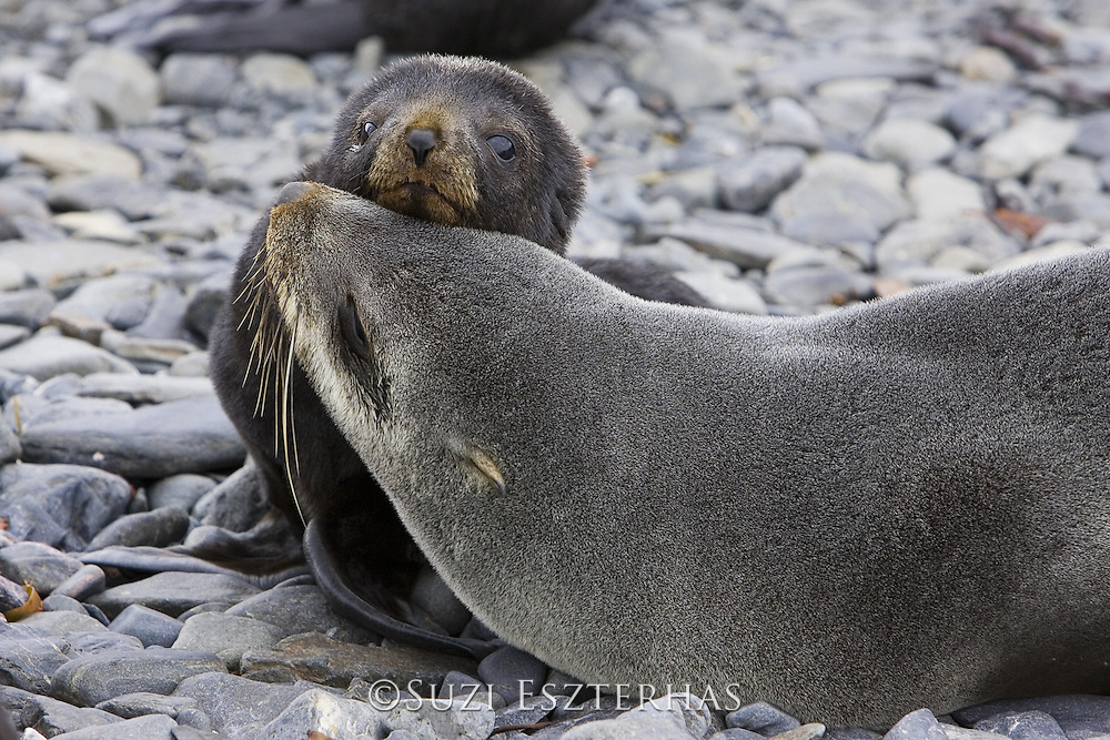 South American Fur Seal<br /> Arctocephalus australis<br /> Mother and 1-2 wek old pup<br /> Prion Island, South Georgia