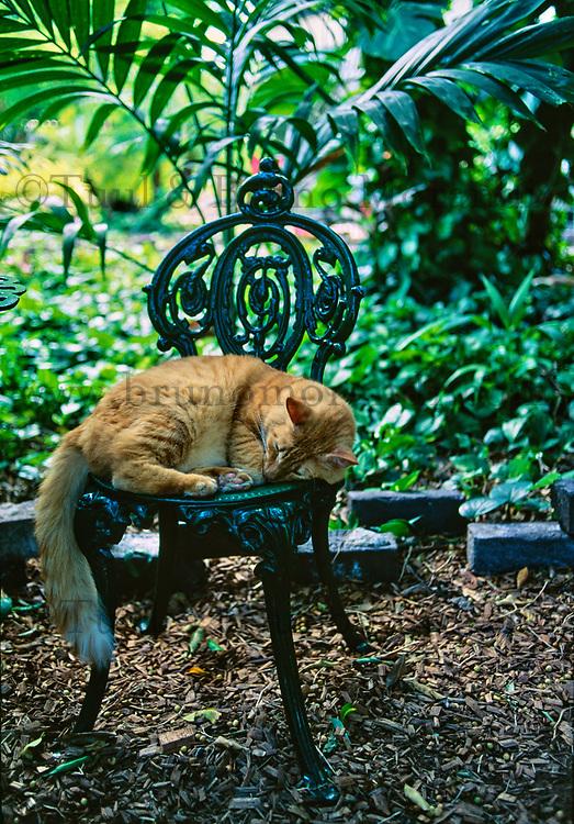 Etats-Unis, Floride, Florida Keys, Key West, la maison-musée d'Ernest Hemingway, chat domestique  // United States, Florida, Florida Keys, Key West, Hemingway House, Domestic Cat (Felis catus)