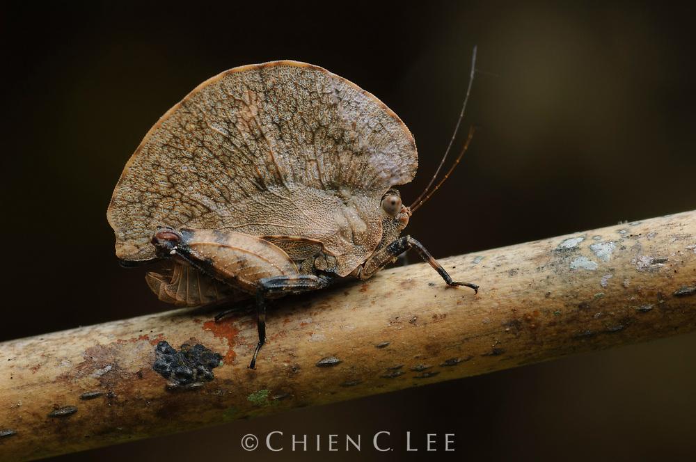 Pygmy grasshopper (Paraphyllum cf. antennatum) mimicing a winged seed. Sarawak, Malaysia.