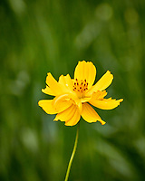 Yellow Cosmos flower. Backyard summer nature in New Jersey. Image taken with a Nikon 1 V3 camera and 70-300 mm VR telephoto zoom lens (ISO 400, 300 mm, f/5.6, 1/640 sec).