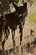 Iberian Wolf in the Shadows (c)