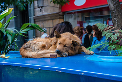A dog catches a nap on a ledge between two flowerpots on a busy sidewalk in Santiago, Chile.