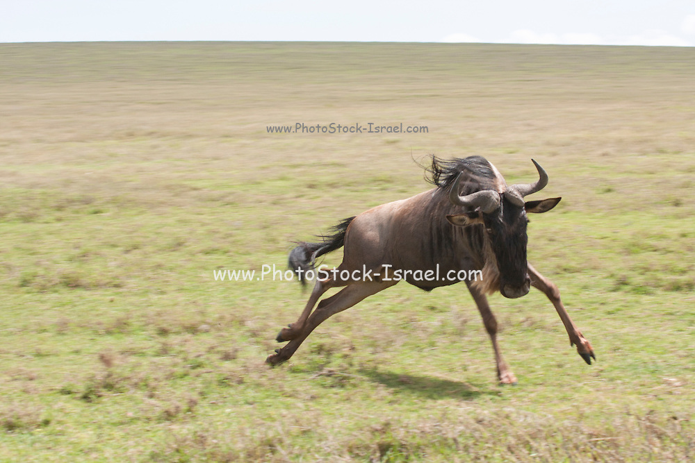 Blue Wildebeest (Connochaetes taurinus). Photographed in Serengeti, Tanzania