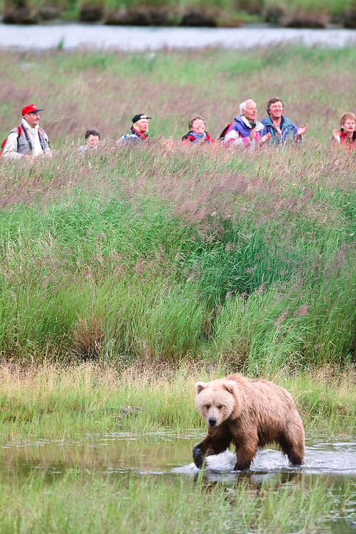 Alaska. Katmai NP. Grizzly Bear (Ursus horribilis) walks past a crowd of tourists in grass.