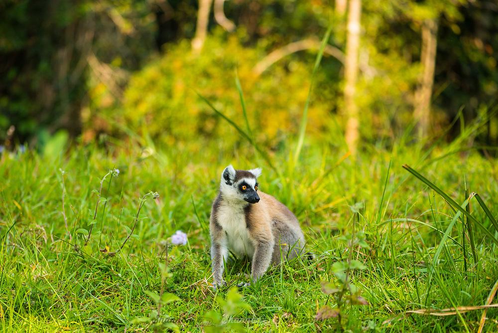 Ring-Tailed Lemur (Lemur catta) native to Madagascar