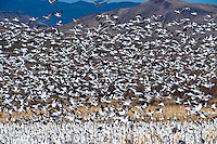 Snow geese, Bosque del Apache National Wildlife Refuge, near Socorro, New Mexico USA