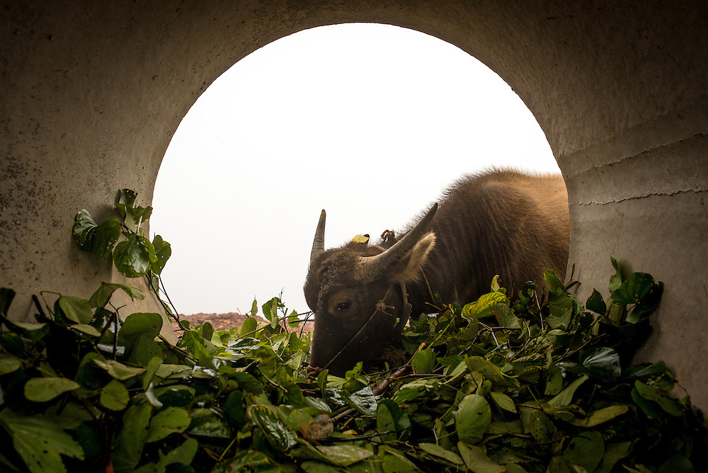 A water buffalo grazes in Basa village, Xishuangbanna, China.