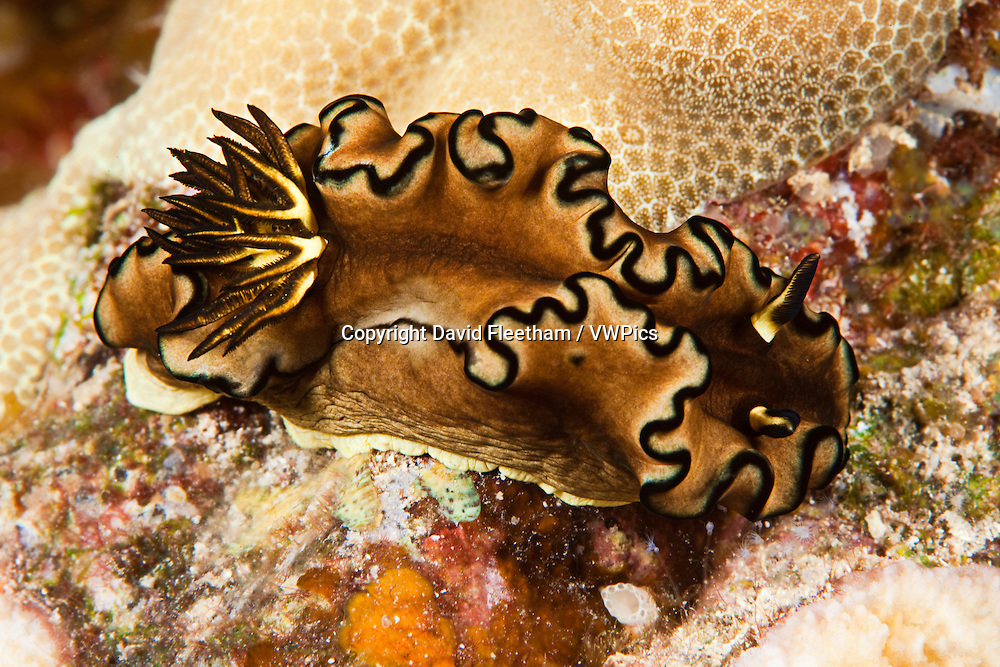 While very common in some parts of the world, such as Australia and Indonesia, the black margin nudibranch, Glossodoris atromarginata, is rarely sighted in Hawaii.