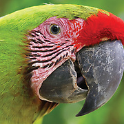 Great Green Macaw Closeup