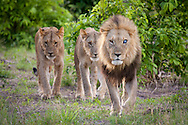 Male lion with one silver eye leads 2 others through the bush in the Linyanti Wildlife Reserve area of Botswana.