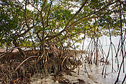 Mangrove forest, Islamorada, Florida Keys, United States of America