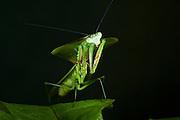 Leaf Mantid (Choeradodis rhombicollis)<br /> Yasuni National Park, Amazon Rainforest<br /> ECUADOR. South America<br /> HABITAT & RANGE: