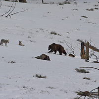 Coyotes harassing grizzly bear. Yellowstone National Park, Wyoming.